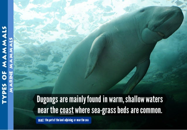 TYPES OF MAMMAES MARINE MAMMALS     Dugongs are mainly found in warm,  shallow waters near the coast where sea-grass beds ...