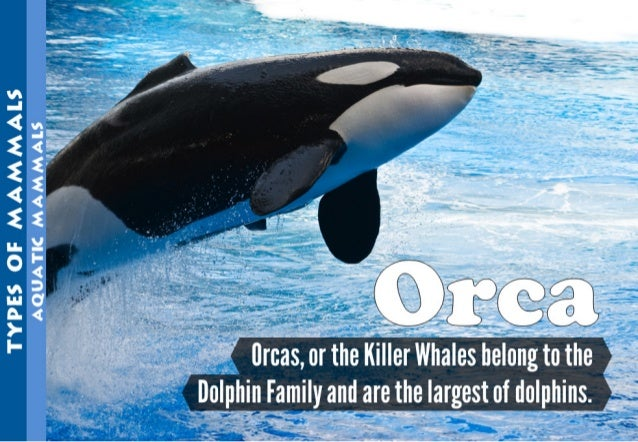 flrcas,  or the Killer Whales belong to the Delphi Family and are the largest of dolphins.