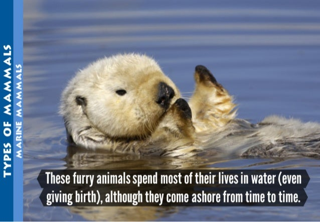 TYPES OF MAM)-AALS MARINE MAMMALS  '} -~1. r-' '.   These furry animals spend  oi theirllives in water (even giving birth)...