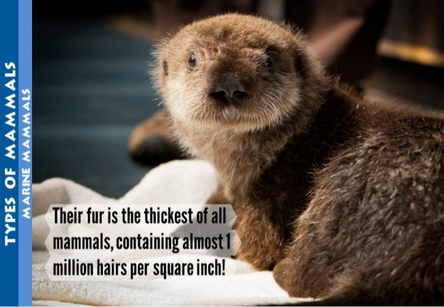 Their fur is the thickest of all  mamma| s,containing almost it a .  '  million hairs per square inch!  '        . .n. ,.....