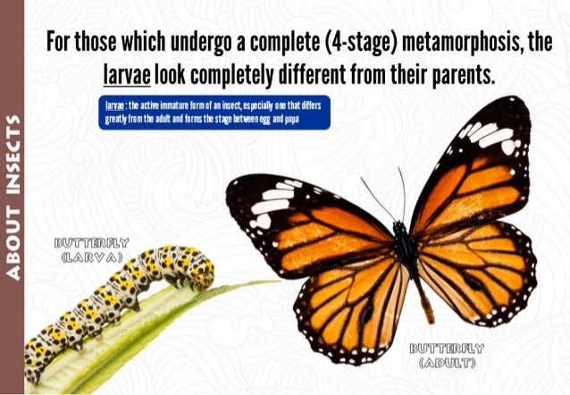 For those which undergo a complete (4-stage) metamorphosis,  the larvae look completely different from their parents.   @ ...