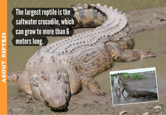 "ABQUT REPTILE5  The largest reptile isthe T  ""  saltwater crocodile,  which can grow to more than 6 meters long.  i  —"