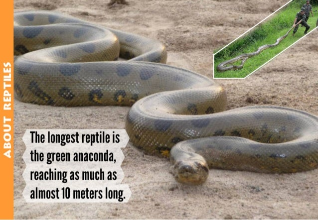 The longest reptile is the green anaconda,  reaching as much as almost in meters long.