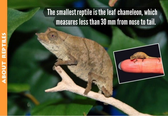 ABOUT REPTILES  O ( as The smallest reptile is the leaf chameleon,  which  measures less than 30 mm from nose titail.   6
