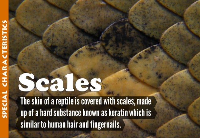SPECIAL CHARACTERESTECS            skin of areptile is Isovered with scales,  made up of a hard substance known as keratin...