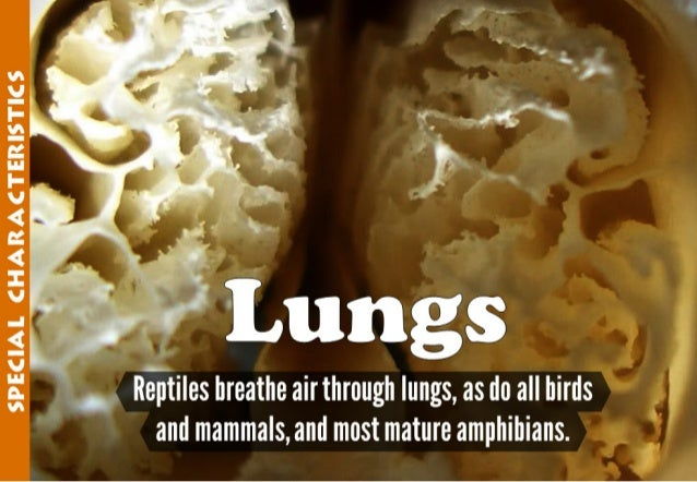 SPECIAL CHARACTERISTICS  'cu;   llTaptiles breathe airthrough lungs,  as do all birds and mammals,  and most mature amphib...