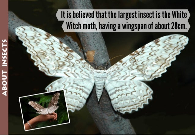 ABOUT INSECTS           It is elid that the largest insect is the White  Witch moth,  having a wingspan of about 28cm.   »...