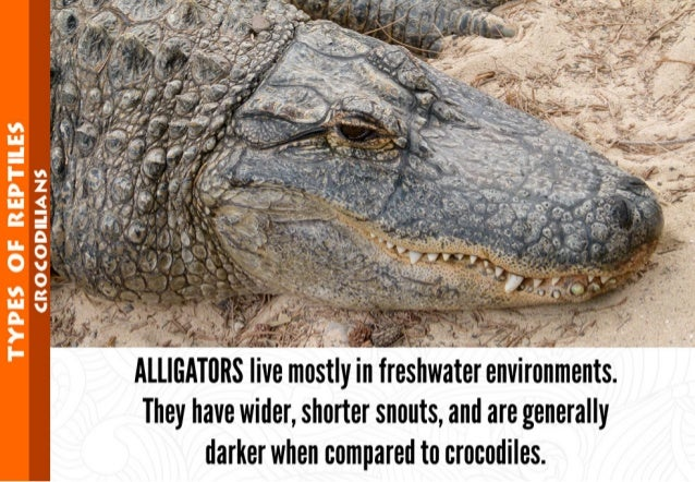 TYPES OF REPTILES  HCROCODILIANS A    water eironments.  I I They have wider,  shorter snouts,  and are generally darker w...