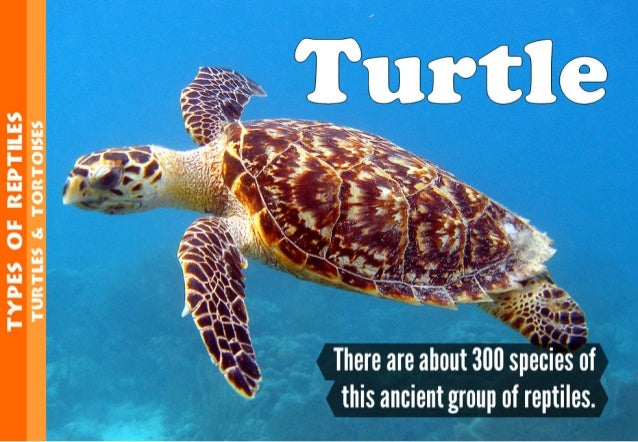 """TYPES OF REPTTEES  TURTLES Sc TORTOISES     ' . """"?. '~""""  - J6' «/ .'/ """"""""-/ -  I  There are about 300 species this ancient ..."""