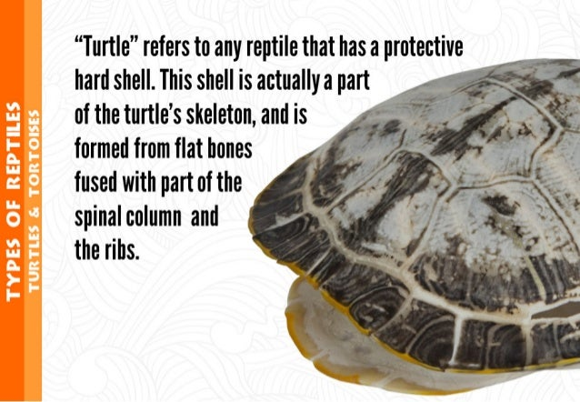 """""""Turtle"""" refers to any reptile that has a protective hard shell.  This shell is actually a part of the turtle's skeleton, ..."""