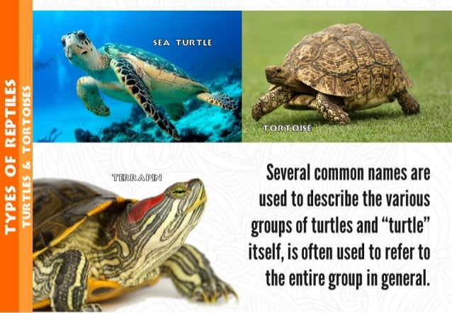 """Several common names are used to describe the various  groups of turtles and """"turtle"""" itself,  is often used to refer to t..."""