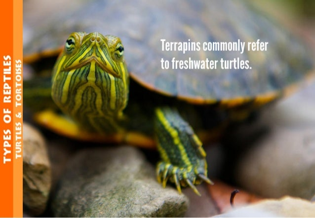 TYPES OF REPYTEE5 'run1'u: s 5. 1'on1'o| s:s  L/ _, '. ' v—  Terrapins commonly refer to freshwater turtles.