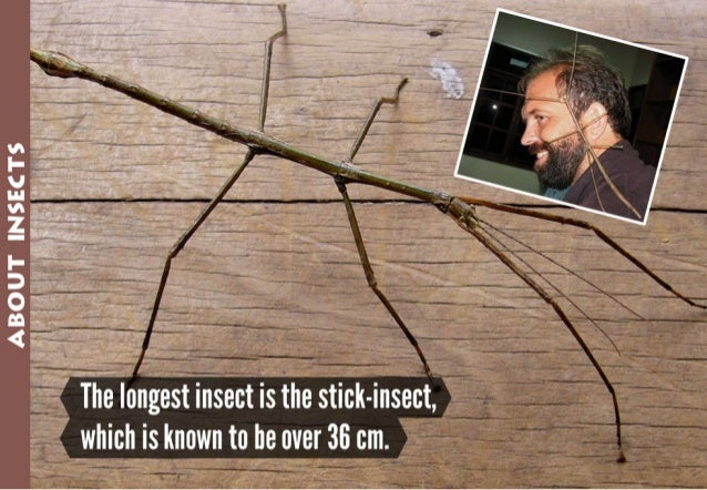 AB; o;u1f rpesews  The longestinfisect is the stick-insect,  which is known to be over 36 cm.