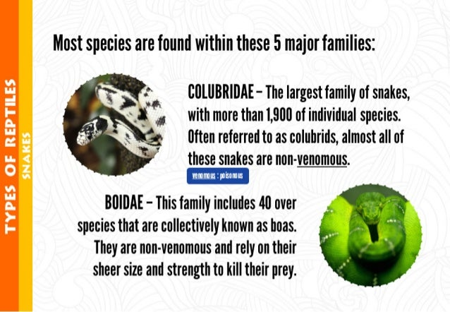 Most species are found within these 5 major families:       Q ClllllBR| llAE - The largest family of snakes,  ; § *' with ...