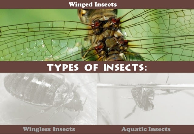 Wmged Insects      T-.   'if' '0  -  —'T. '.~                    ,7  ,4  /  /,  . V ' p  I'. ..{ TYPES OF INSECTS:   Wingl...