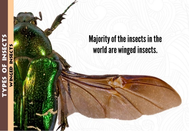 """Majority of the insects in the world are winged insects.   V  I- )- $' Ill- 'if V' """",5 3 3 3. 3 >- I-"""
