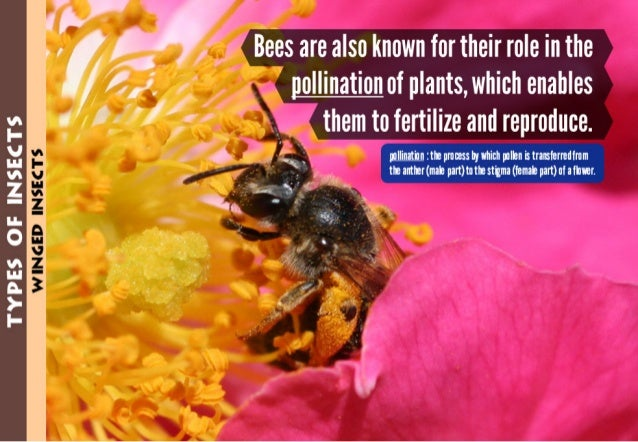 TYPES OF INSECTS  . }y   Bees are also known for their role in the  /  ' B .  . .  / »/4,2'.  pollination of plants,  whic...