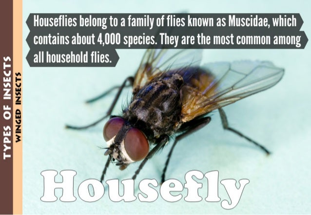 TYPES GE INSECTS  u_-w:13.:  on  Houseflies belong to a family of flies known as Muscidae,  which  contains about 4,000 sp...
