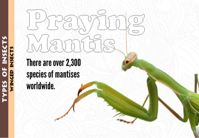 Ebzcezyi g Meomxfiisgg   There are over 2,300  species of mantises 3 worldwide.              % I- vi 1 V' .  Zr 1 O % HI H....