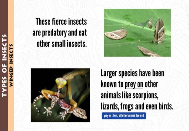 "'I!  ;_| _.*-. "".'; ;1 ""  WINCED INSECTS  ""'vI: -.-  These fierce insects are predatory and eat other small insects.      ..."