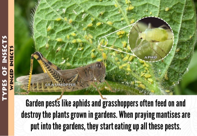 INIGED IN. $E¢_TS'       Garden pes s like aphids and grasshoppers often feed on and destroy the plants grown in gardens. ...