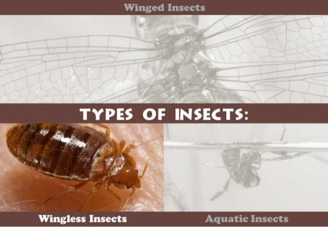 """Winged Insects  , ,.. ;_. ,. -'~ .  . .  I .2 I-7 """"V ' .  ' I --s '.  / h L:   Wingless IIIseCts Aquatic Insects"""