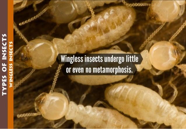 TYPES GE INSECTS WINGLESS INSECTS  Wingless insects undergo little or even no metamorphosis.