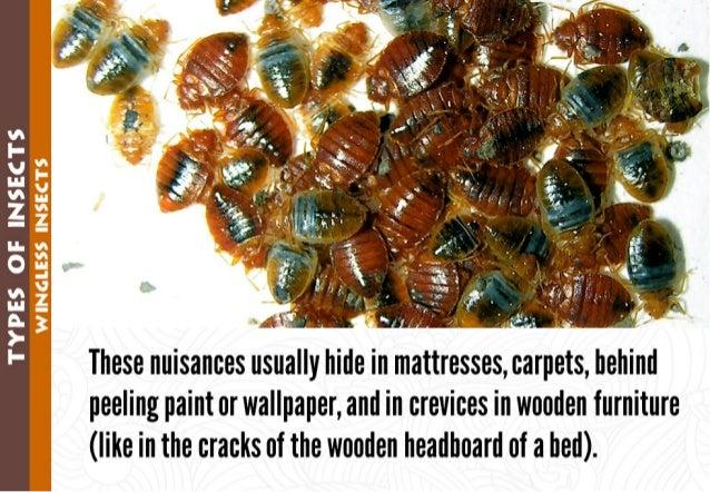 "vs I"" V In vs Z an 0 v u A )' I-        .  ' ' ""*2  / .=""' '.  T. '';  'h _ .  These nuisances usually hide in mattresses,..."