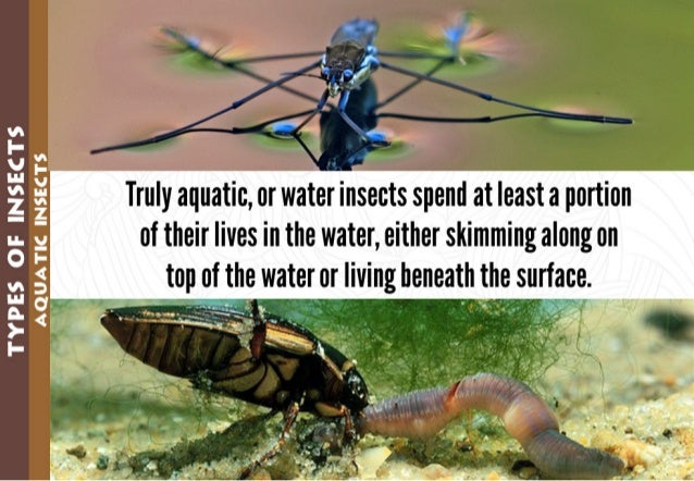 TYPES OF INSECTS  AQUATIC INSECTS        Truly aquatic,  or waer insects spend at least a portion of their lives in the wa...