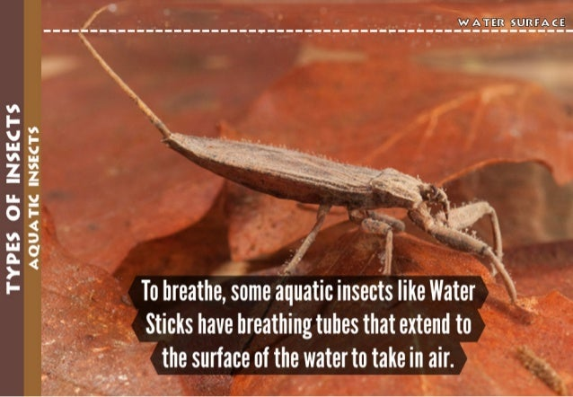 W A TER S U RF A«('E   :  : :  : :  : :  : :  : :  : :  : 11  TYPES OF INSECTS AQUATIC INSECTS I v'  To breathe,  some aqu...