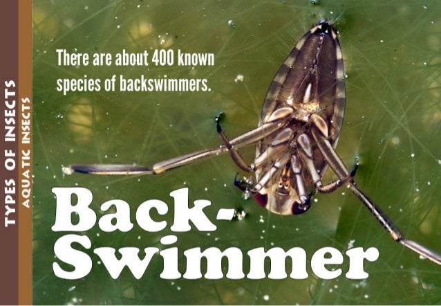 TYPES GE INSECTS  A_QUATlC INSECTS  ' There are about lllll known species of backswimmers.