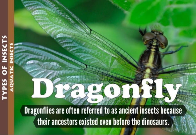 TYPES GE INSECTS  AQUATIC INSECTS       Dragonflies are often referre  d to as ancient insects because A -_ their ancestor...
