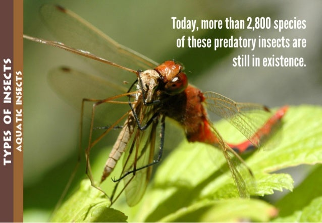 TYPES GE INSECTS AQUATIC INSECTS   1 .   Today,  more than 2,800 species of these predatory insects are still in existence.