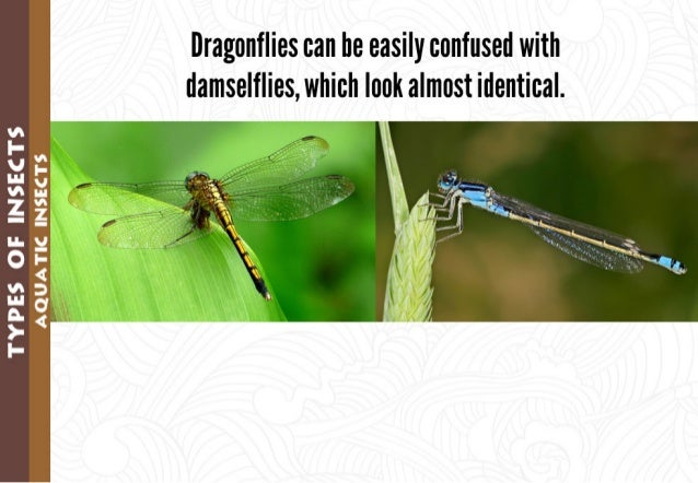 Dragonflies can be easily confused with damselflies,  which look almost identical.      :2  3: ; § —z I- '62 4 3:   > I-