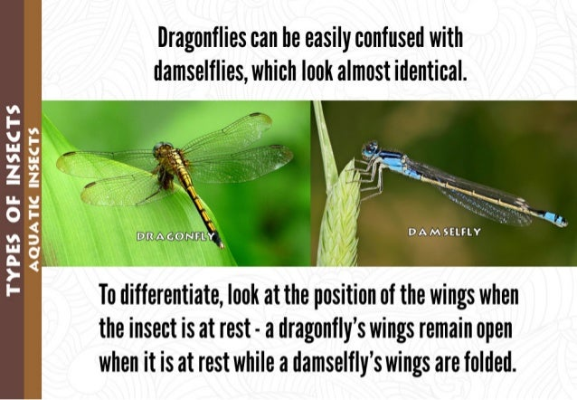 "*1: l| .*'.   - gt  ,  .1. l / J'.  I ' ""' . ,,  ' -(. ~ t . _ @l73[S@@l? 'llED,   .   V,   Dragonflies can be easily conf..."