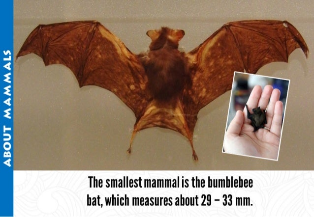 ABOUT MAMMALS     The smallest mammal is the bumblebee bat,  which measures about 29 - 33 mm.