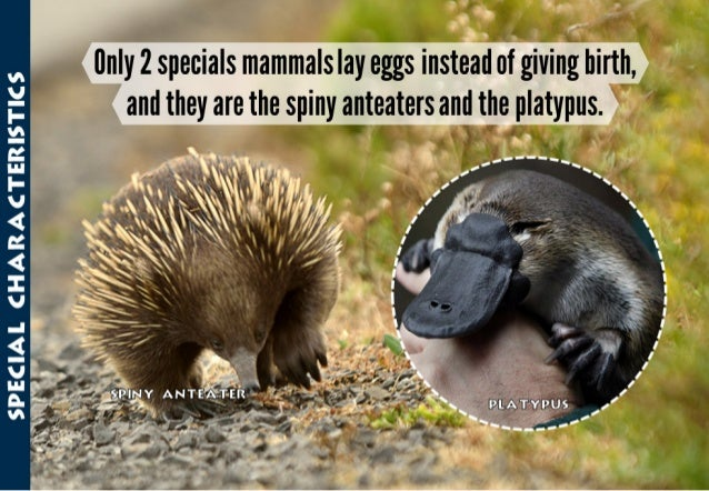 "_ jlM5:""i_""1(; .': '  _.  _'""fl _ _  llnly 2 specials mammals lay eggs instead of giving birth,   and they are the sprny an..."