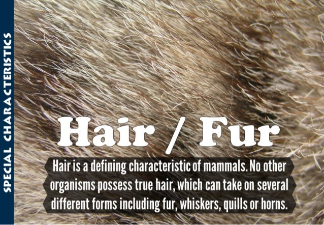 "SPECIAL CHARACTERISTHCS 7? V u7"""" "" ' »' ,  ""A         L 'forganisms possess true hair,  which can take on several 4  , :,..."