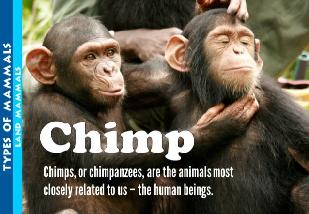".g' .  , ""          TYPES OF MAMMALS LAND MAMMALS  Chimps,  or chimpanzees,  are t nimals most closely related to us - the..."