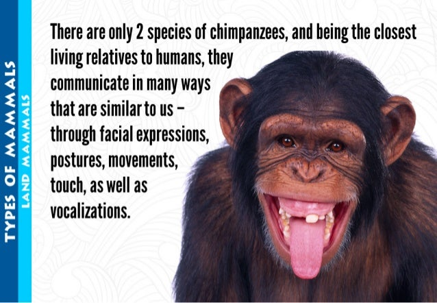 There are only 2 species of chimpanzees,  and beingthe closest living relatives to humans,  they   communicate in many way...