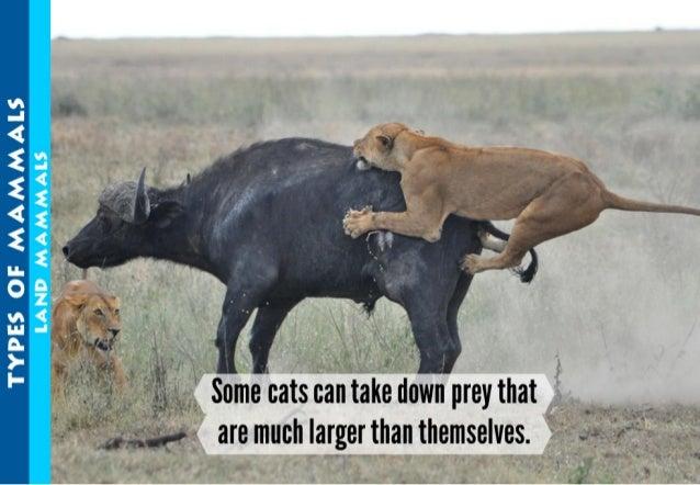 LAND MAMMALS  VI —I < 2 2 < 2 ll- 0 m A.  )- I-   3  i A .  y ,  ..  ,.  .   , ,  Some cats can take down prey that  ' ___...