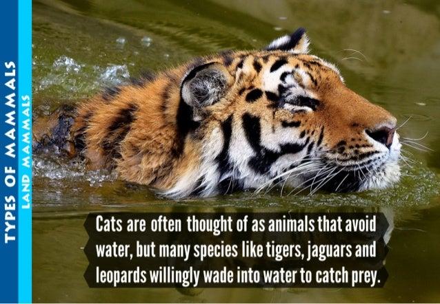"""1""""' """"I '3  , _""""'. «-A """""""""""""""""""" ':  .:  :. r.''5:  tidehemenhealir. .e; .el; it'alcl,    - water,  but many species like tiger..."""