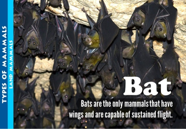 """Bats are thelonly mammalsthat have wings and are capable of sustained flight.   m. .<2.>. <£ nz<. _ .3d. <.. .<<¢. << """"5 E..."""