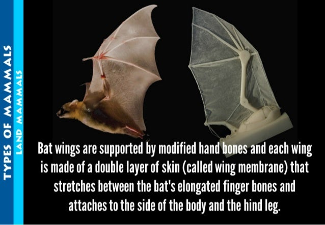 TYPES OF MAMMAES LAND MAMMALS     Bat wings are supported by modified hand bones and each wing is made of a double layer o...