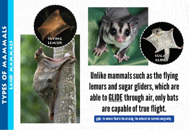 llnlike mammals such as the flying  lemurs and sugar gliders,  which are  able to m through air,  only bats are capable of...