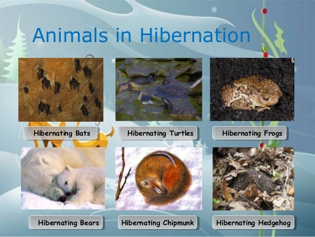 animals in hibernationhibernating batshibernating bats hibernating ...