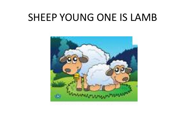 SHEEP YOUNG ONE IS LAMB