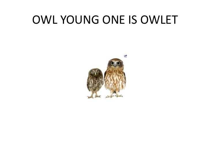 OWL YOUNG ONE IS OWLET