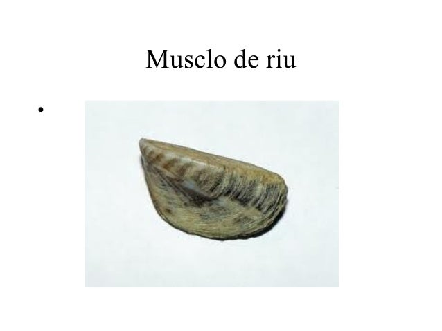 Musclo de riu•