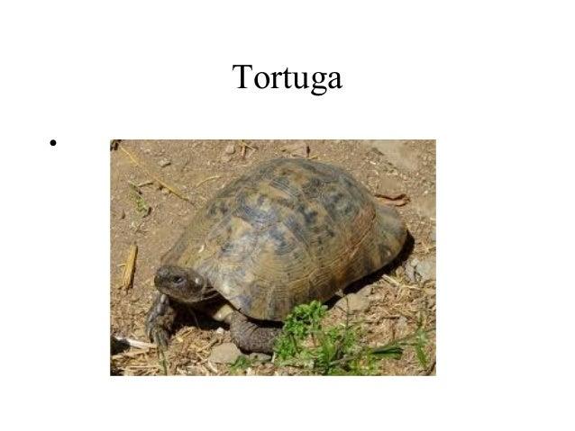 Tortuga•